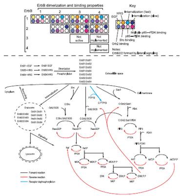 Simplified version of ErbB model network